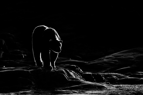Polar-Bear-Black-White-Award-Image