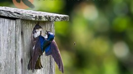 Tree Swallow attempting to feed nestling