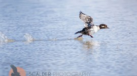 Female Bufflehead taking off from water