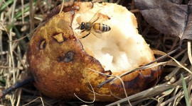 Honey bee eating a pear