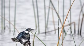 Belted Kingfisher catching fish