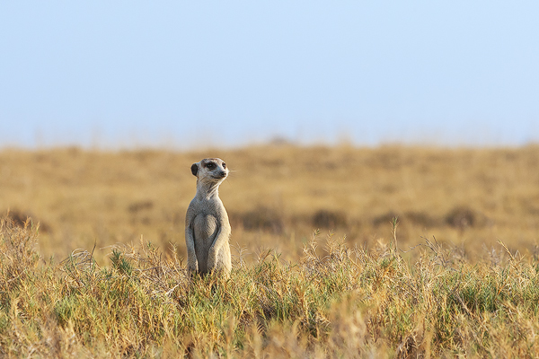 Meerkat Bush | Pictures Images Photos | African Wildlife