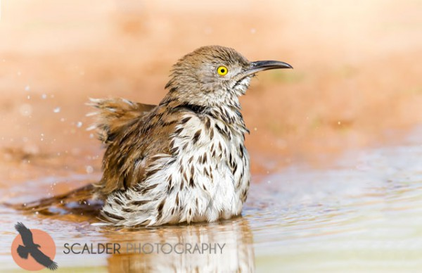 Long-Billed Thrasher in puddle
