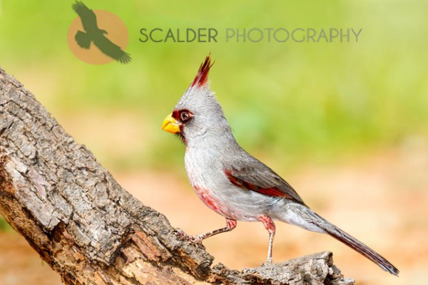 Male Pyrrhuloxia perched on limb