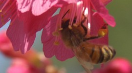 Honey Bee and Cherry Blossom