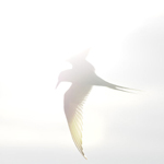 Arctic tern (Sterna paradisaea) flying over sunlit water