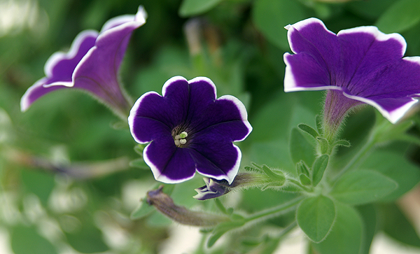 Purple Petunia edged with white