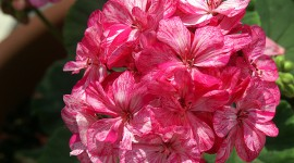 Striped Pink Geranium