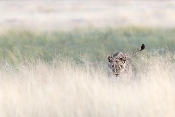 African Lioness Stalking | Wildlife Photographer Africa