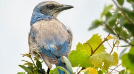 Florida Scrub Jay perched in tree