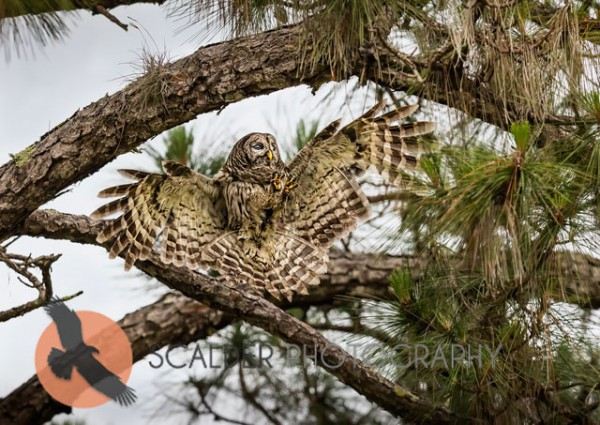 Barred Owl landing in a tree