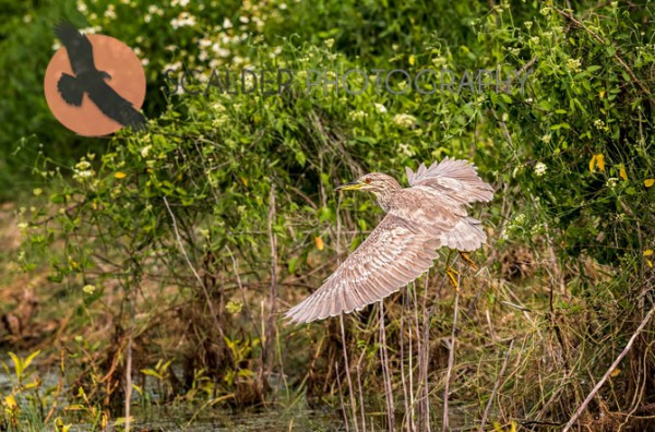 Juvenile Black-Crowned Night Heron taking off in flight