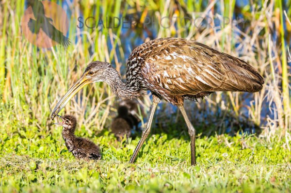 Limpkin feeding chick an apple snail