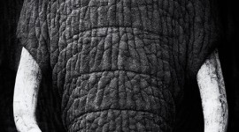 African-elephant-giant-teeth