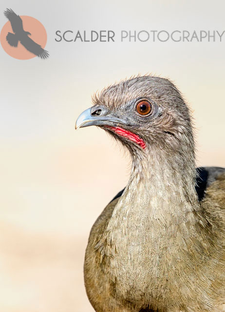 Plain Chachalaca face