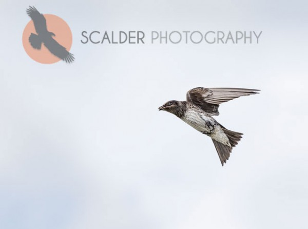 Female Purple Martin in flight