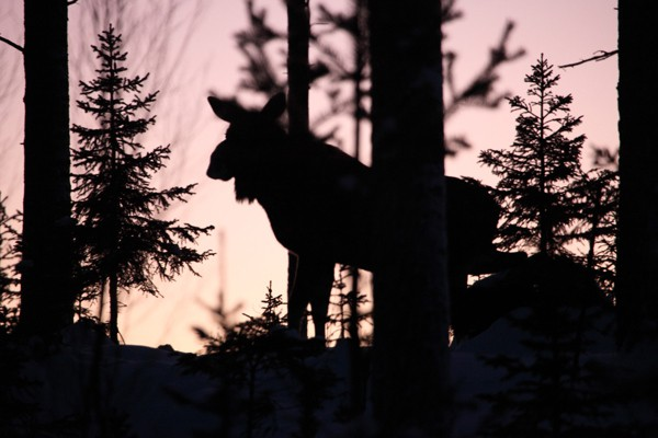 Moose at sunset
