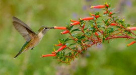 Broad-tailed Hummingbird [Selasphorus platycercus]