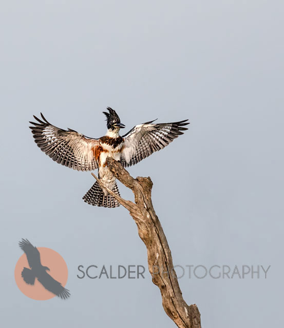 Belted Kingfisher landing on tree