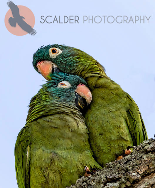 Pair of Blue-crowned parakeets