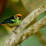 Golden Tanager [Tangara arthus]