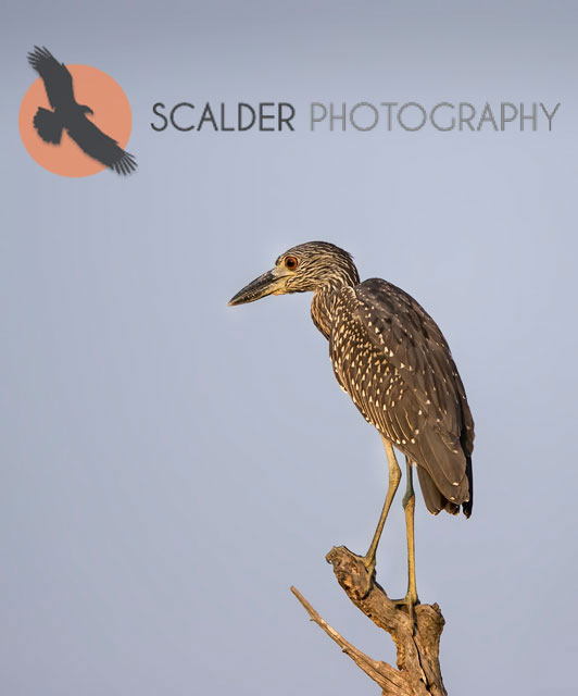 Juvenile Yellow-Crowned Night-Heron perched on limb