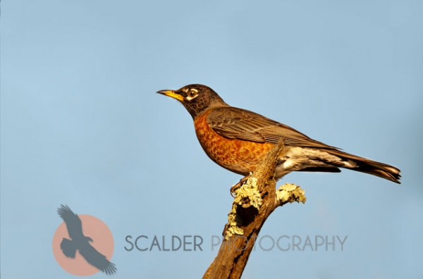 American Robin perched on branch