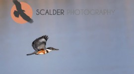 Female Belted Kingfisher in flight over water