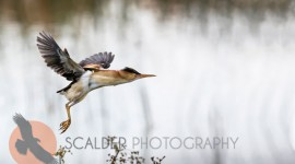 Least BIttern taking off in flight in rain