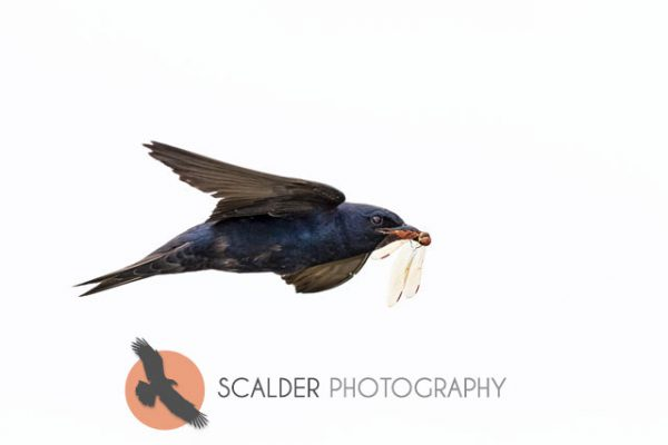 Male Purple Martin with dragonfly