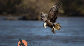 Adult Bald EAgle with fish in talons lifting off from water