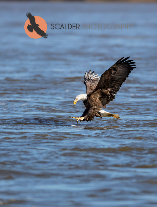 Adult Bald Eagle with talons and feet forward going after a fish in water
